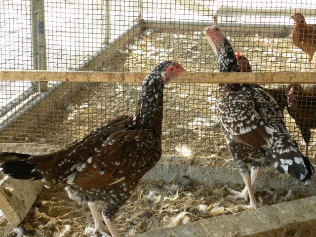 http://www.backyardchickens.com/forum/uploads/57476_dscn1294.jpg