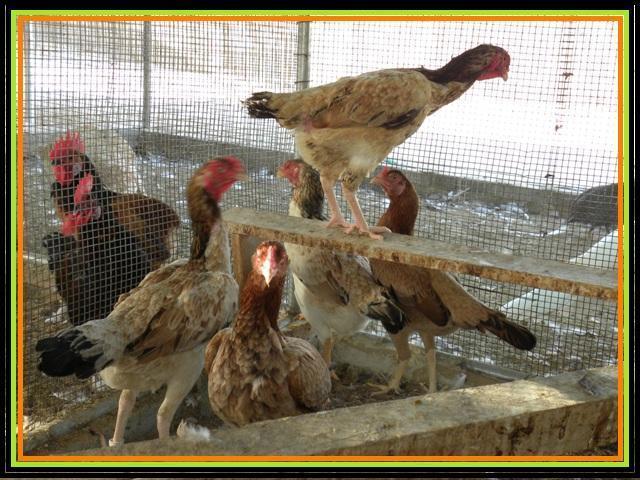 http://www.backyardchickens.com/forum/uploads/57476_dscn1300.jpg