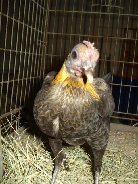 http://www.backyardchickens.com/forum/uploads/57599_dsc04603.jpg