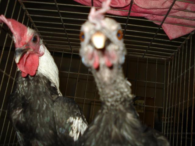 http://www.backyardchickens.com/forum/uploads/57599_dsc04614.jpg
