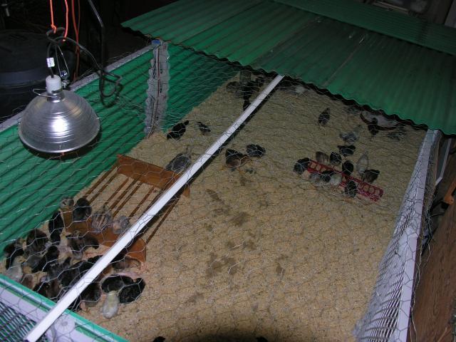 http://www.backyardchickens.com/forum/uploads/57775_dscn2360.jpg