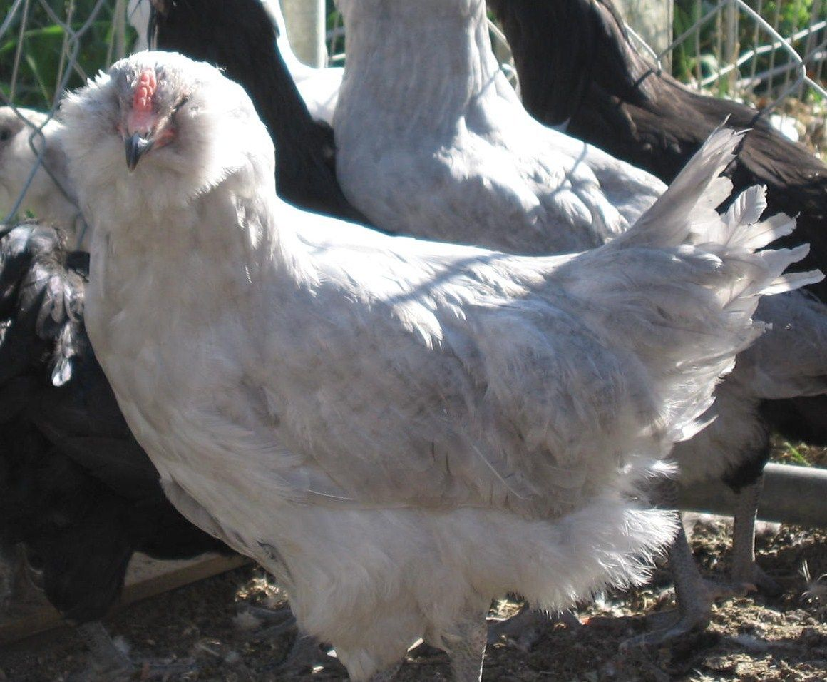 http://www.backyardchickens.com/forum/uploads/5845_cockerel1.jpg