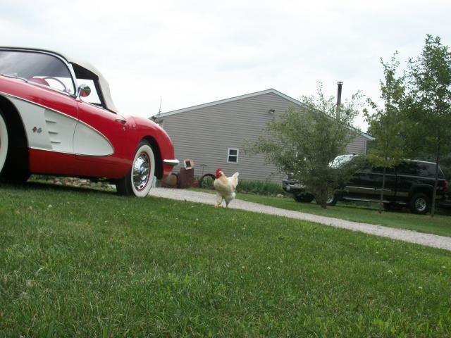 http://www.backyardchickens.com/forum/uploads/58585_birdncar_001.jpg