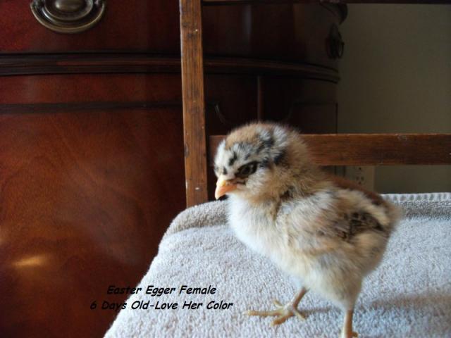 http://www.backyardchickens.com/forum/uploads/58941_penelope_day_6.jpg
