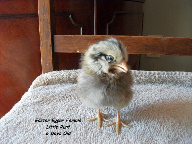 http://www.backyardchickens.com/forum/uploads/58941_pochahontas_6_days_old.jpg