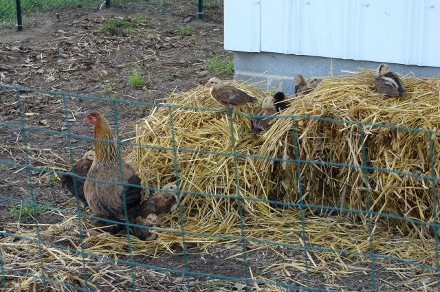 59510_chickens_in_the_straw.jpg