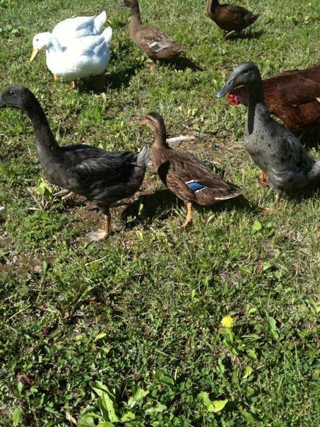 5981_ducks2.jpg