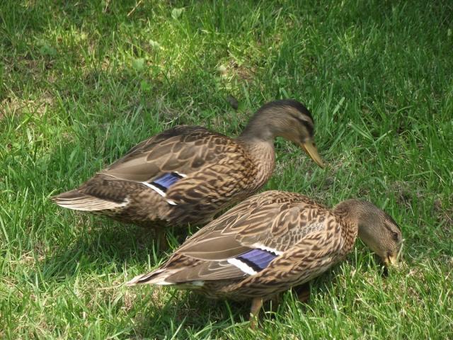 59947_ducks_003.jpg