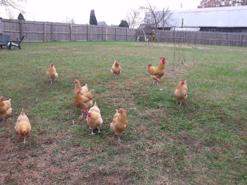 http://www.backyardchickens.com/forum/uploads/60013_dscf4814.jpg