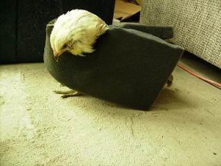 http://www.backyardchickens.com/forum/uploads/60235_imgp3413s.jpg