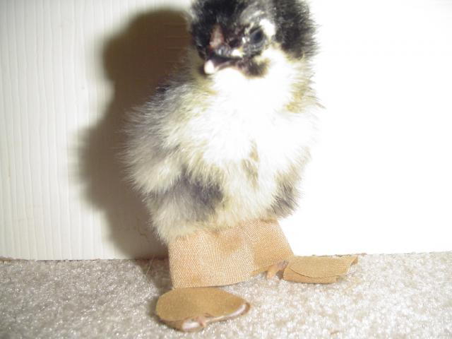 http://www.backyardchickens.com/forum/uploads/60979_october_19_hatch_taped_feet_001.jpg