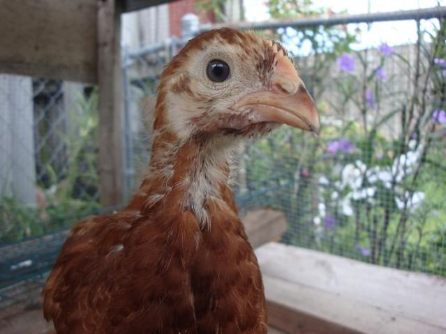 http://www.backyardchickens.com/forum/uploads/61284_dsc02754.jpg