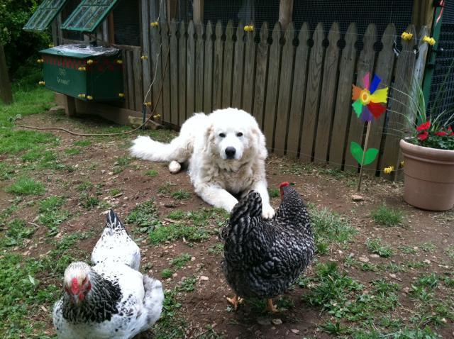 61299_coop_trin_the_farm_dog_and_chksn.jpg