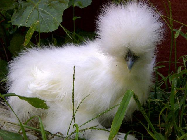 http://www.backyardchickens.com/forum/uploads/61583_a_wh_silkie_aug_2011_pic.jpg