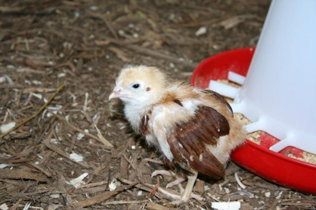http://www.backyardchickens.com/forum/uploads/61919_img_3106_1024x683.jpg
