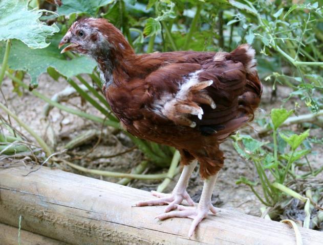 http://www.backyardchickens.com/forum/uploads/61919_img_3678_1024x778.jpg