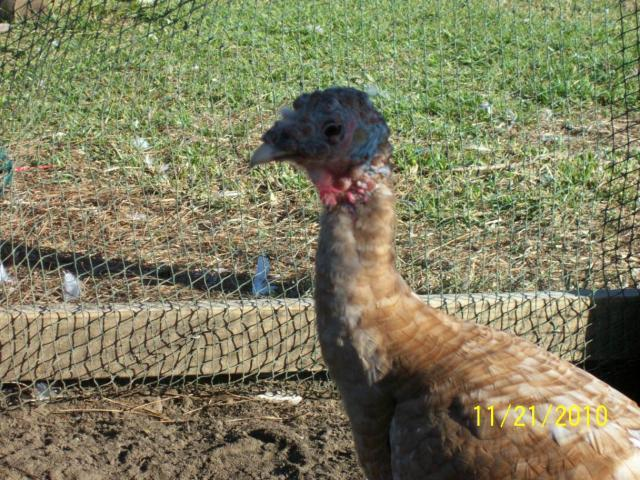 http://www.backyardchickens.com/forum/uploads/61924_104_1548.jpg