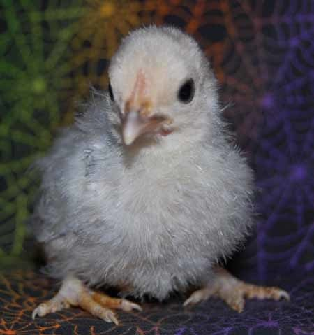 62150_blue_chick_2_sm.jpg