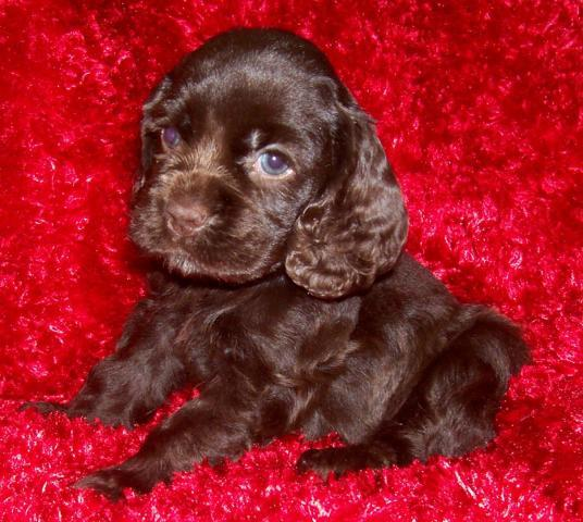 Akc Chocolate Cocker Spaniel Puppies Females We Ship Backyard
