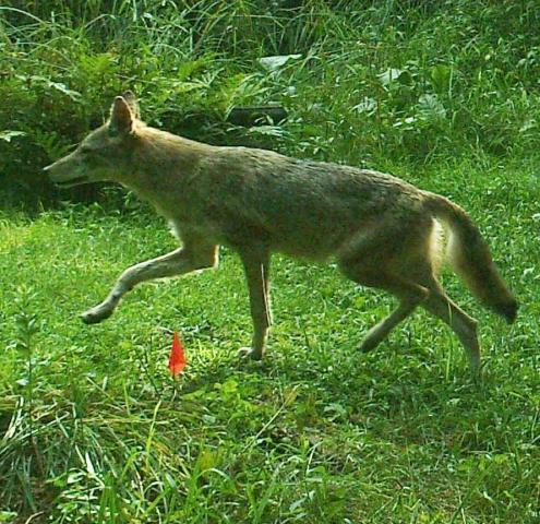 http://www.backyardchickens.com/forum/uploads/62375_coyote.jpg