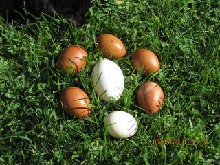 http://www.backyardchickens.com/forum/uploads/63083_eggs_09-07-2010_001.jpg