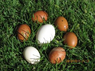 http://www.backyardchickens.com/forum/uploads/63083_eggs_09-07-2010_002.jpg