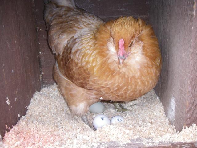 http://www.backyardchickens.com/forum/uploads/63203_imgp0580.jpg