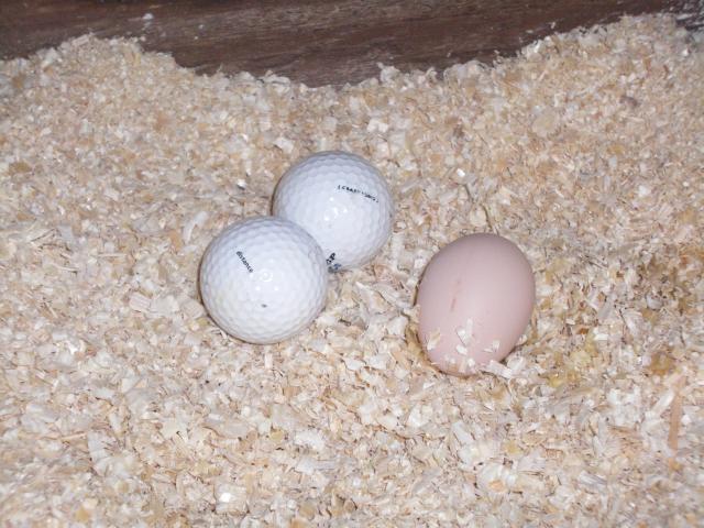 http://www.backyardchickens.com/forum/uploads/63203_imgp0600.jpg