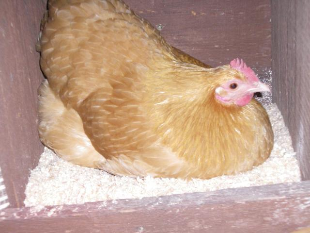 http://www.backyardchickens.com/forum/uploads/63203_imgp0613.jpg