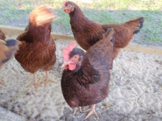 http://www.backyardchickens.com/forum/uploads/63768_pa100077.jpg