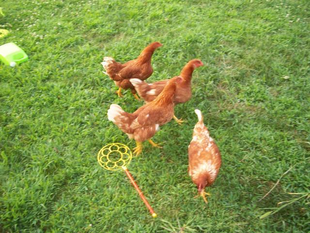 http://www.backyardchickens.com/forum/uploads/63900_100_0598.jpg