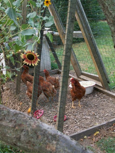 http://www.backyardchickens.com/forum/uploads/63900_100_0715.jpg