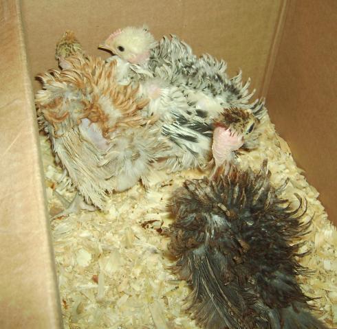6412_chickens_december_2009_040.jpg