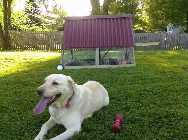 Suburban Backyard Chickens : Suburban Chicken Tractor  BackYard Chickens Community