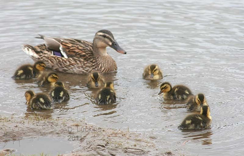 Cold Ducks: Mantener a los patos en invierno - The Thrifty Homesteader