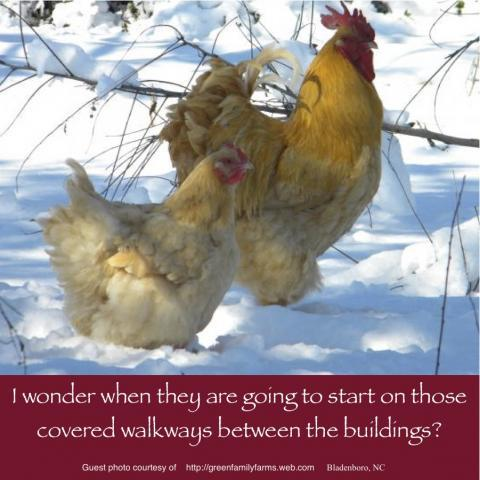 64832_march_11_2011_workday_chickens.jpg