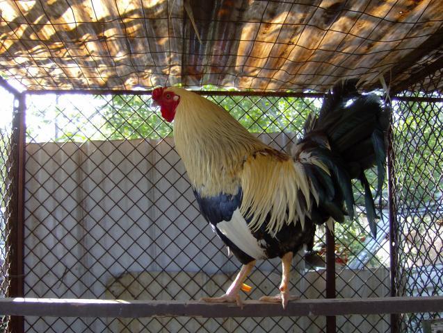 http://www.backyardchickens.com/forum/uploads/64944_hpim0687.jpg