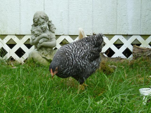 65545_chickens_week_12_020.jpg