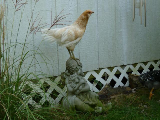 65545_chickens_week_12_035.jpg