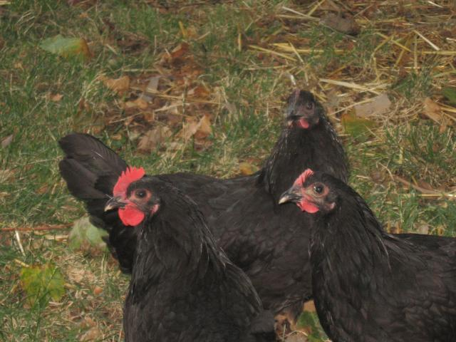 http://www.backyardchickens.com/forum/uploads/65869_img_4108.jpg
