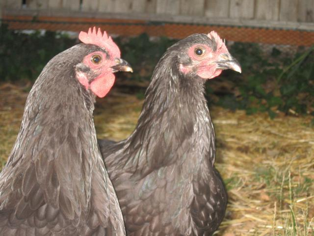 http://www.backyardchickens.com/forum/uploads/65869_img_4111.jpg