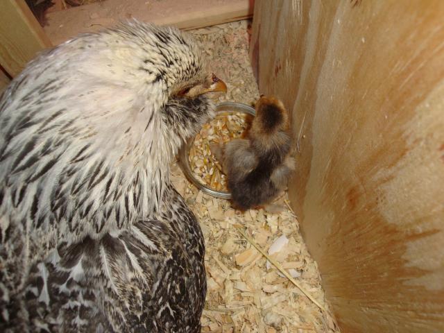 65913_chickens_018.jpg