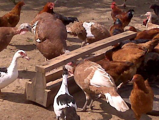 http://www.backyardchickens.com/forum/uploads/6612_animals_feeding.jpg