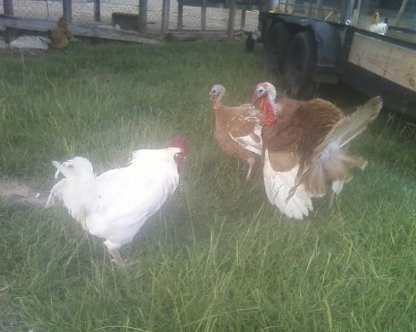 http://www.backyardchickens.com/forum/uploads/6612_tom_and_rooster.jpg
