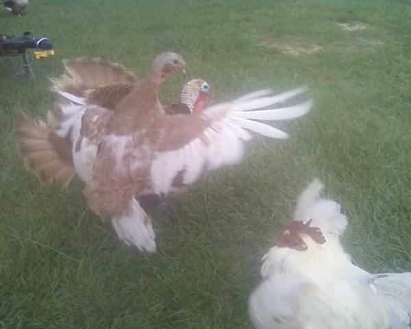 http://www.backyardchickens.com/forum/uploads/6612_turkey_and_hen_sparring.jpg