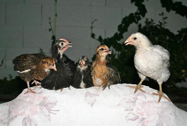 http://www.backyardchickens.com/forum/uploads/66234_img_4488.jpg