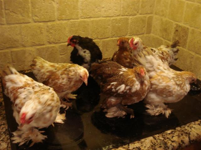 http://www.backyardchickens.com/forum/uploads/66483_dsc05085.jpg