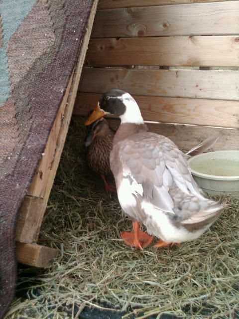 my ducks winter shelter on our deck pics
