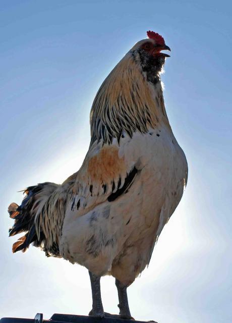 http://www.backyardchickens.com/forum/uploads/66877_crowing.jpg