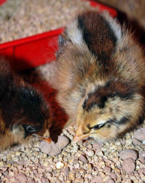 http://www.backyardchickens.com/forum/uploads/66877_dsc_0135.jpg